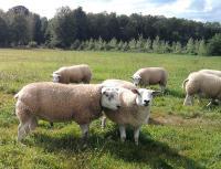 Handbank Rob Roy bij zijn ooien in natuurgebied