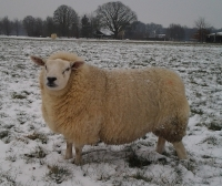 23 januari 2013 sneeuw en vorst maar de schapen hebben er geen last van