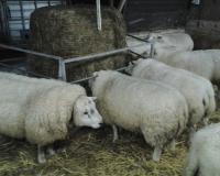 26 januari de schapen zijn weer in en bij de stal (foto kuilvoer aan het hek)