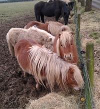 Shetlanders wachten op het voorjaar!