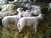 Mooie lange Texelse lammeren in de tweeling groep