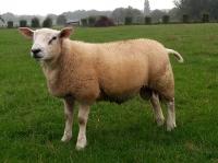 Engelse Texelaar ram Warrior 6390-13220 hoogste vleeslam index