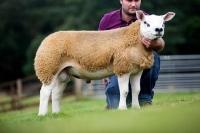 Lanark Texel sale 2014 duurste ramlam 145.000 Guines