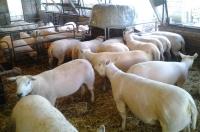 4 februari alle ooien geschoren, klaar voor het aflammeren!