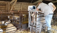 Ultrasound scanning Texel and Swifter sheep