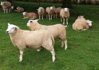 Swifters scoren hoog bij nieuwe vleeslam indexen, start verkoop.