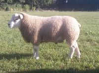 Kimbolton Your the Ram nieuwe import Engelse Texelaarram