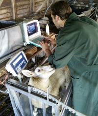 Engelse Texelaars gewogen en ultrasoon gescand voor Vleeslamindex