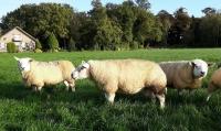Alle Engelse Texelaar en Swifter ooien zijn gedekt