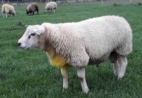 Jonge Engelse Texelaar ram AA Commandor uit Kimbolton Your the Ram moeder